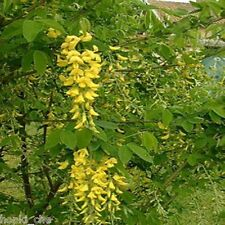 LABURNUM ANAGYRIODES 1000 SEEDS GOLDEN CHAIN YELLOW PEA TREE ORGANICALLY GROWN