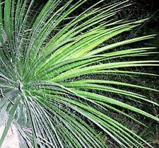 50 Seeds - Chahuiqui  - Agave multifilifera