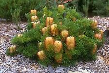 BIRTHDAY CANDLES SEEDS BANKSIA SPINULOSA COMPACT SHRUB FLOWERING 10 SEED PACK