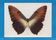 Carte Publicitaire Papillons  Morpho Hecuba Amérique tropicale