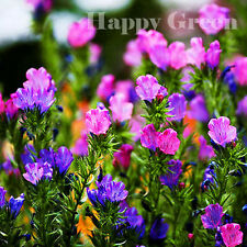 Blueweed Fleur Mix - 220 graines-echium plantagineum-Viper's Bugloss
