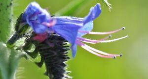 60 Graines de Vipérine Commune - fleurs Mellifère plante jardin méthode BIO
