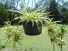 2 x SPIDER PLANTS VARIEGATED LEAVES HARDY airplane plant helps remove pollution