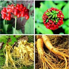 Chinese / Korean Panax Ginseng. Hardy Rare Wild Herbal Plants. 1 Pack, 6 seeds.
