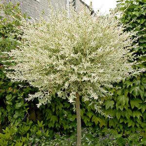Salix integra 'Hakuro-nishiki' Flamingo Willow 80cm Standard Tree in a 3L Pot