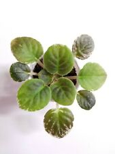 African Violet Geyser of Color - Starter Plant/Plug