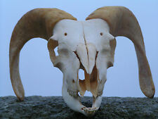 ANTIQUE REAL Ram skull with horns.ART,TAXIDERMY,PAGAN,GOTH