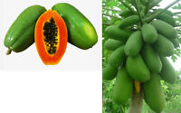 Papaya Asian Red - An Extreme High Yielding Variety with Great Flavour & Taste!