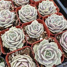 Echeveria Lola Rare Succulent Plant Shown in 2