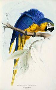 Edward Lear 1832 Blue and Yellow Macaw 7x5 inch Print