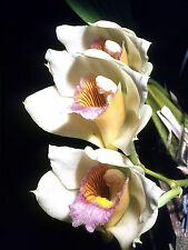 New listing Bifrenaria Tyrianthina Var Semi-Alba Fragrant Species Orchid
