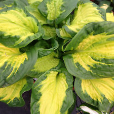 "hosta ETCHED GLASS medium fragrant disease-free 2.5"" pot = 1 Live Potted Plant"
