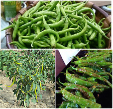 Pepper Sweet Chilli seeds GREEN LONG Spanish Piparra Guindilla Vasca Ibarra