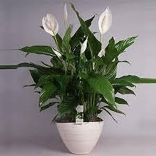 Peace lily - Spathiphyllum - live plant