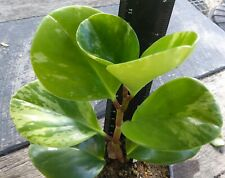 Peperomia obtusifolia variegata exotic houseplant collectors EXPRESS POSTED