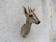 Taxidermie d'un Céphalope de Grimm chasse trophée taxidermie Afrique Hunting