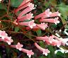 CIGAR PLANT ROSE Cuphea Ignea Coan - 200 Bulk Seeds