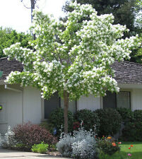 CHINESE FRINGE TREE Seeds Spectacular Flowerer Frost/Drought Tolerant
