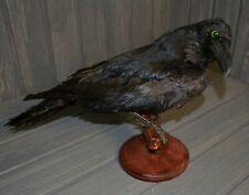 Stuffed black raven Taxidermy Bird Mount 01