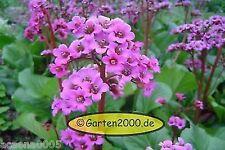 Bergenie, Bergenia cordifolia Rotblum Pflanze ab 1,62€  (Staffelpreise)