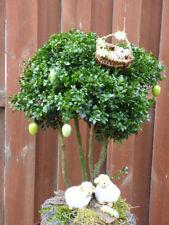 Buchsbaum-Strauchpflanzen für Ausgewachsene-Pflanzen