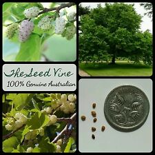 10+ WHITE MULBERRY TREE SEEDS (Morus alba) Edible Fruit Silkworm Shade Popular