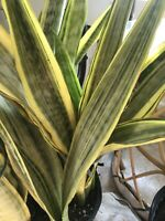 """VARIEGATED YELLOWSTONE GOLD SANSEVIERIA MUTATE OF SAYURI ROOTED 4-7 STEMS up 21"""""""