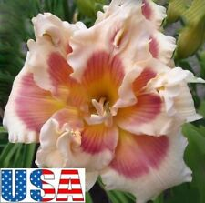 Spring Fever Daylily Plant 1 fans