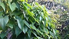 10 graines de Dioscorea hamiltonii SEEDS SAMEN SEMILLAS