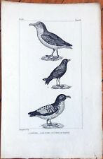 Le Petrel, Le Damier, L'Oiseau De Tempete - 1830s French Bird Print