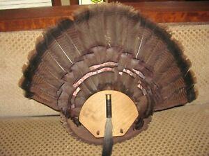 """Eastern Wild Turkey Mount  Fan  1 1/2"""" Sharp Spurs & 9 1/2"""" Heavy Rope Beard"""