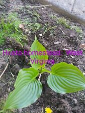 4 Hosta plant Organic Homestead medium growing shade perennial, bareroot. WV