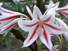 Crinum Lily, Scabrum 'Red Rocket', medium-size bulb, NEW