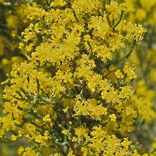 Melaleuca micromera Wattle Honey-myrtle rare native plant in 50mm pot