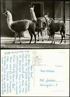 Ansichtskarte Görlitz Zgorzelec Tierpark / Zoo - Lamas 1971