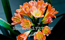 10 pcs Indoor potted flowers Clivia seeds, seed quality orchid potted plants