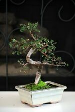 "Chinese Elm Bonsai Tree 10 years old specimen, 10"" - 12"" tall Mature Bonsai"