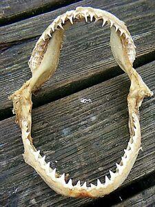 VINTAGE SHARK JAW TEETH