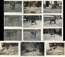 More details for welsh terrier dog black and white photographs - set of 12 real photos some named