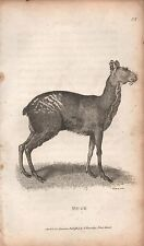 1808 ANTIQUE ANIMAL PRINT - GEORGE SHAW- MUSK
