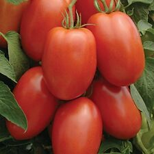Tomato Roma (Lycopersicon Esculentum) Bulk Wholesale Great Garden 6,000 Seeds