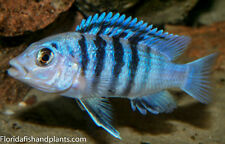 "(3) Labidochromis chisumulae ""clown lab"" 1.25 inch African Cichlid, Live Fish 00004000"