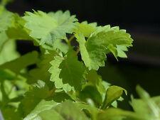 Bärwurz Meum athamanthicum Heilpflanze Gewürz Aphrodisiakum Bär-Wurz