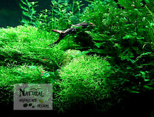 "Riccia fluitans Covered Stone 2 1/2""-3"" Live Plant Nature Aquarium Wabi Kusa"