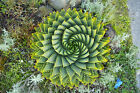 Aloe Polyphylla (Spiral Aloe) - Succulent RARE plant - DP in 80mm pot (S)