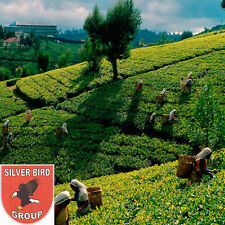 50g Ceylon Silver Tips White Tea, White Tea, Whole Leaf, Nuwara Eliya Sri Lanka