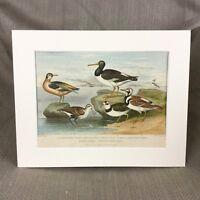 1876 Antique Victorian Print Sea Birds Oyster Catcher Dotterel Turnstone