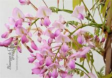 Blauregen-Wisteria-Glyzine venusta 'shova-beni' (Samtwisterie) 40 - 60 cm rosa