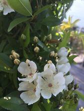 Rosa Banksia Normalis - 5.5lt Potted Rambling Rose - Cream/White, Fragrant