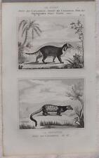 BUFFON ORIGINALE 1850 ZIBETTO GENETTA CIVET GENET GENETTE ZIBET ANIMALS ZOOLOGIA